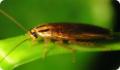 Рыжий таракан: питание, образ жизни, места обитания