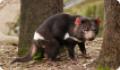 Тасманийский дьявол: интересные факты о животном. Питание и обитание