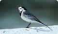 Трясогузка белая: фото и описание птицы. Обитание, питание, размножение