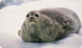 Тюлень Уэдделла: интересные факты о животном. Обитание и питание