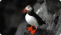 Атлантический тупик: интересные факты о животном. Питание и обитание