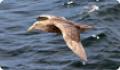 Южный гигантский буревестник: интересные факты о птице