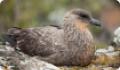 Южнополярный поморник: интересные факты о животном. Обитание и питание