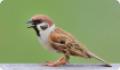 Воробей полевой (Passer montanus) - типичный синантропный вид