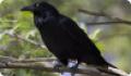Ворон: фото и описание птицы. Обитание, питание, размножение