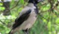Серая ворона: фото и описание птицы. Обитание, питание, размножение