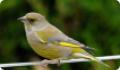 Зеленушка (Chloris chloris). Описание и фото птицы
