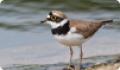 Зуёк малый: фото и описание птицы. Обитание, питание, размножение
